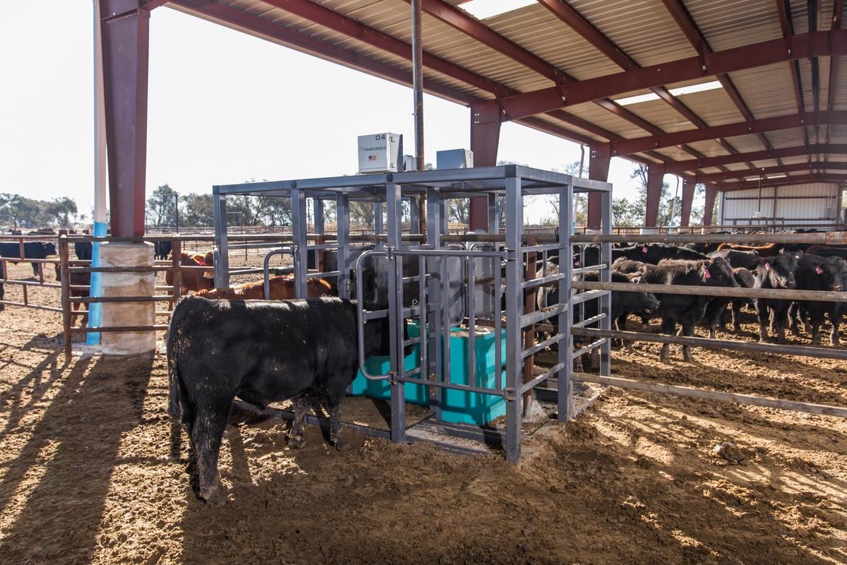 Cattle using C-Lock SmartScale in Feedlot